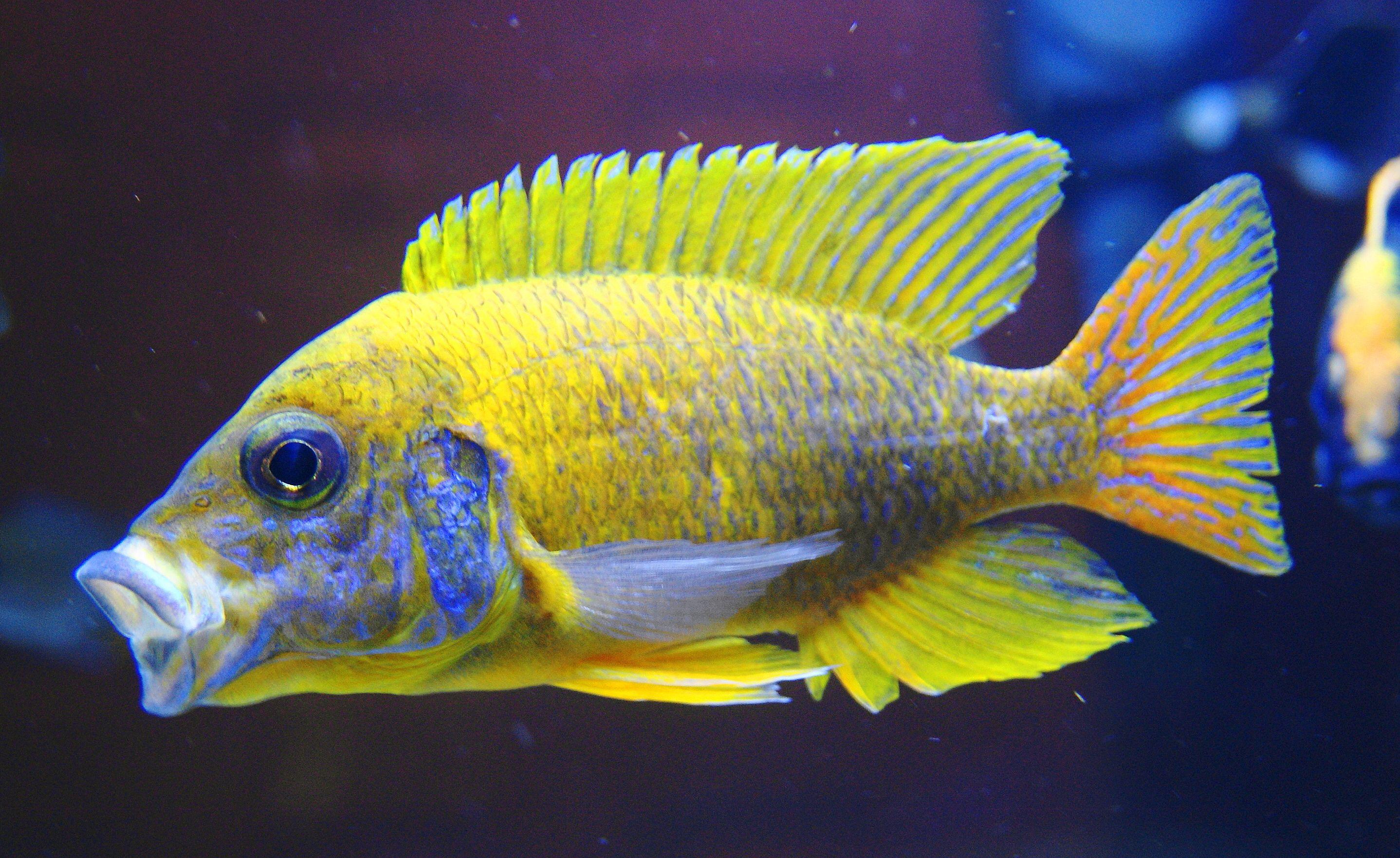 Aulonocara Sp Stuartgranti Maleri African Cichlids Cichlids Fish Pet