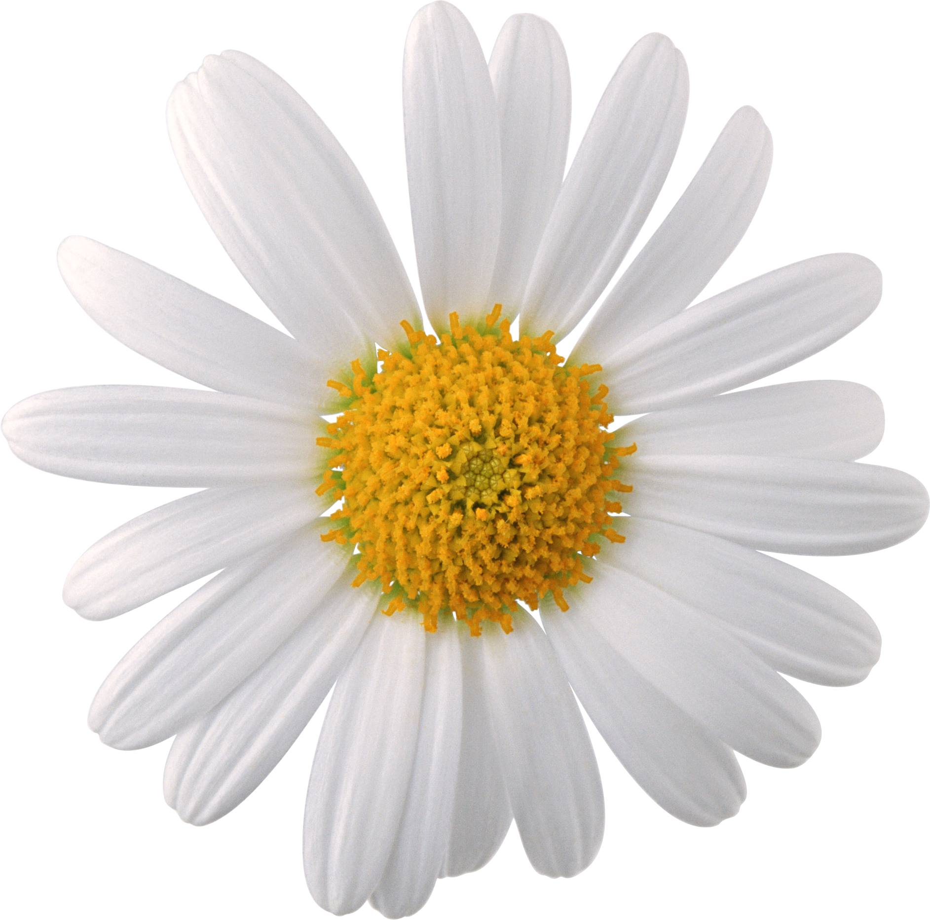 Camomile Png Image Free Picture Flower Download Buy Flowers Online Daisy Flower Order Flowers