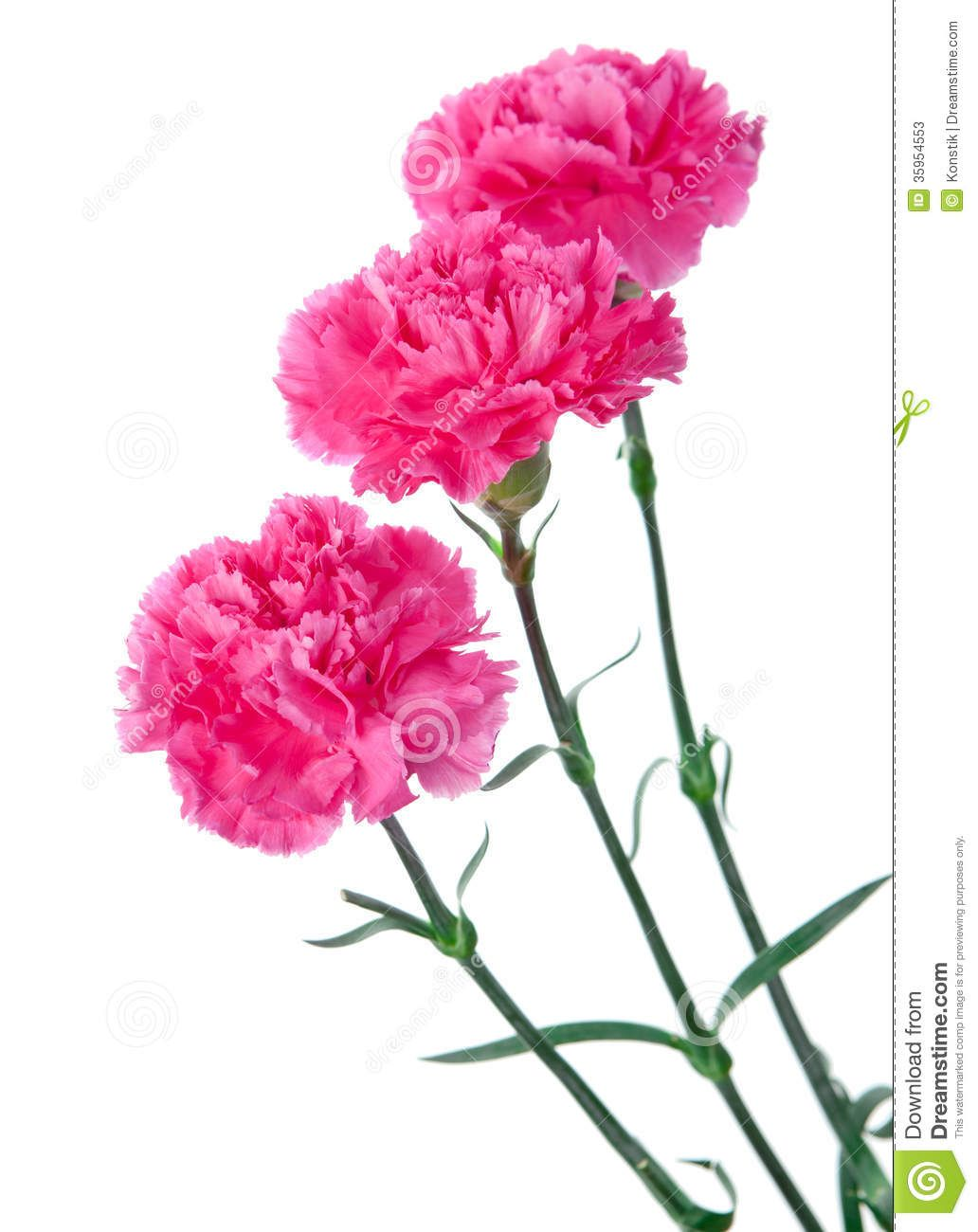 Pink Carnation Background Three Pink Carnations Still Life On A White Background Stock Photos Pink Carnations Carnations White Background