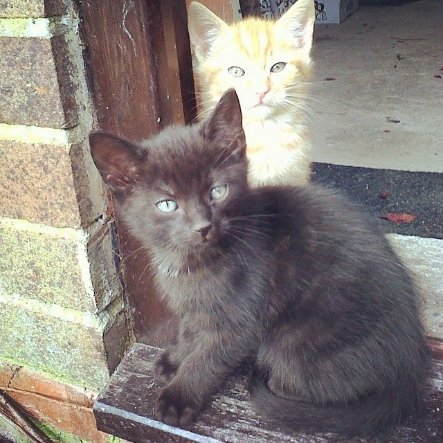 Two Brothers Out Of A Litter Of 7 Kitties Kitty S Kitty Cats Young Eyes Blueeyes Animals Beautiful Pretty Stu With Images Cute Animals Animals Cat S