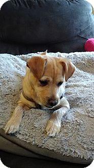 Bellingham Wa Jack Russell Terrier Shih Tzu Mix Meet Chompers