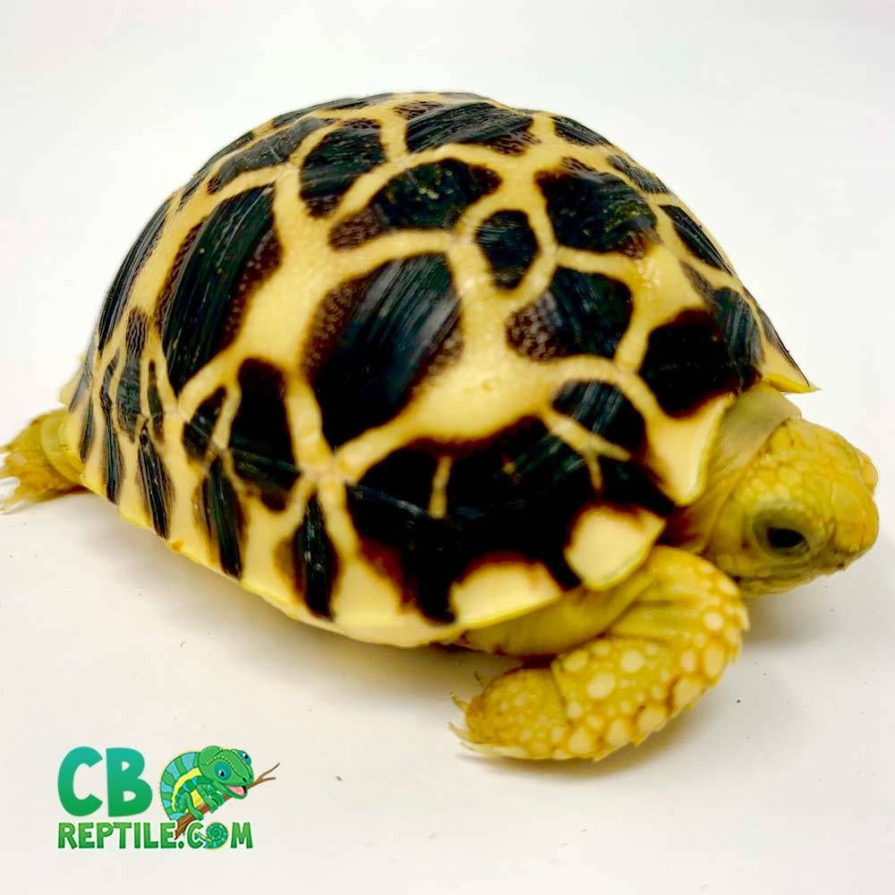 Tortoise For Sale Baby Tortoise Tortoise Hatchling