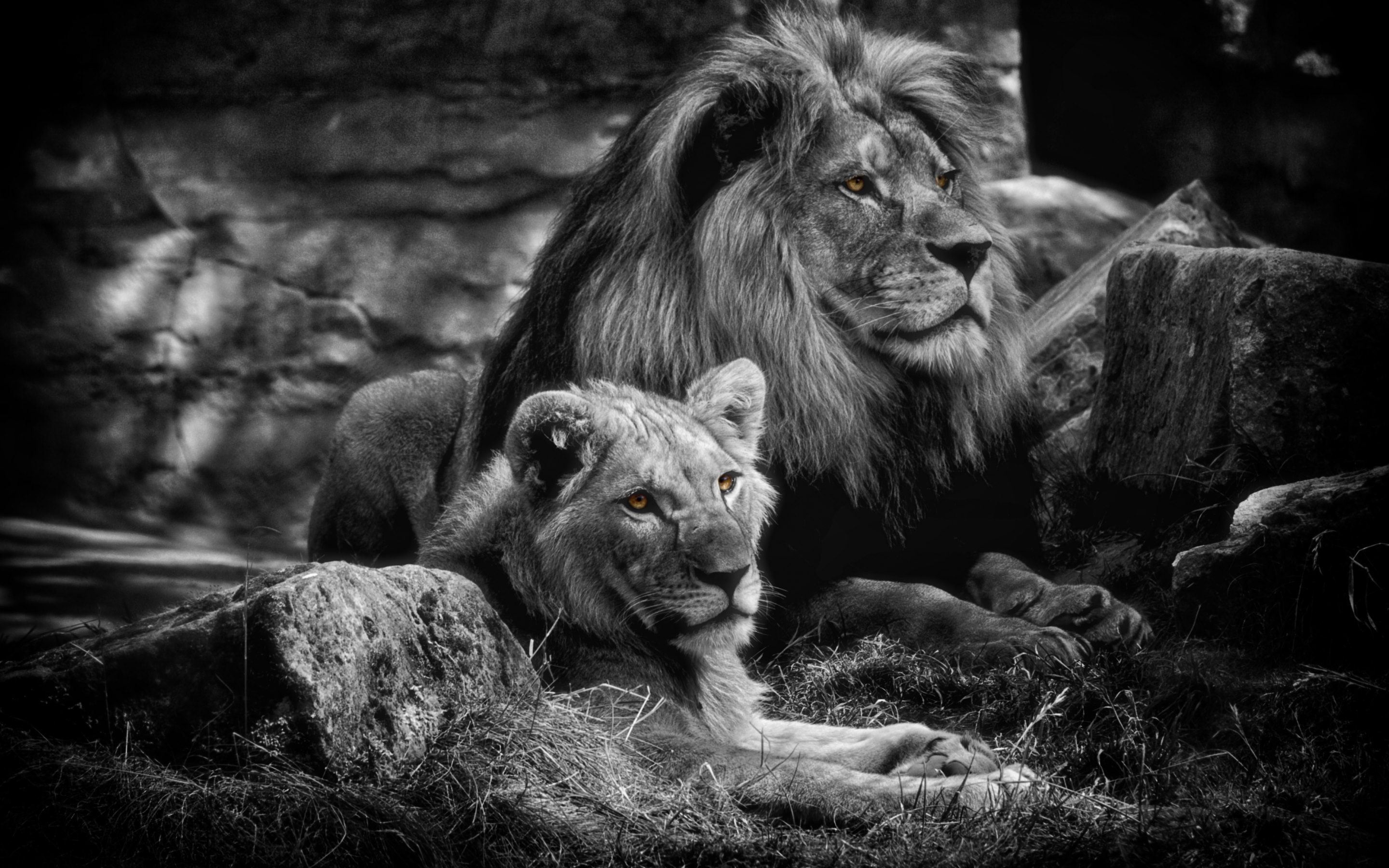 Https 4 Bp Blogspot Com Nd5k9fwyt A Vhpnr6bkczi Aaaaaaab150 Ft1563 G54 S0 Lion Kng Of The Jungle2 Wallpaper Jpg Black And White Lion Animals Lions Photos