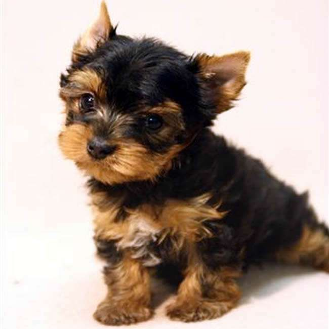 Teacup Yorkshire Terrier For Sale Gloria Teacup Yorkies