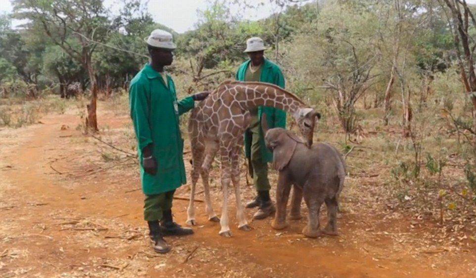 They say love knows no bounds, and that is definitely true of an abandoned elephant and giraffe who have formed an adorable bond after being rescued in Nairobi
