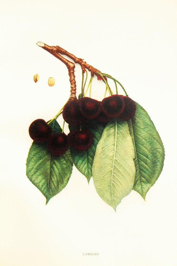 e7cff915fce6 (Barbs is Cerezo Lambert probus avium) Cherries of New York Lambert Black  Cherry Tree. by PaperPopinjay
