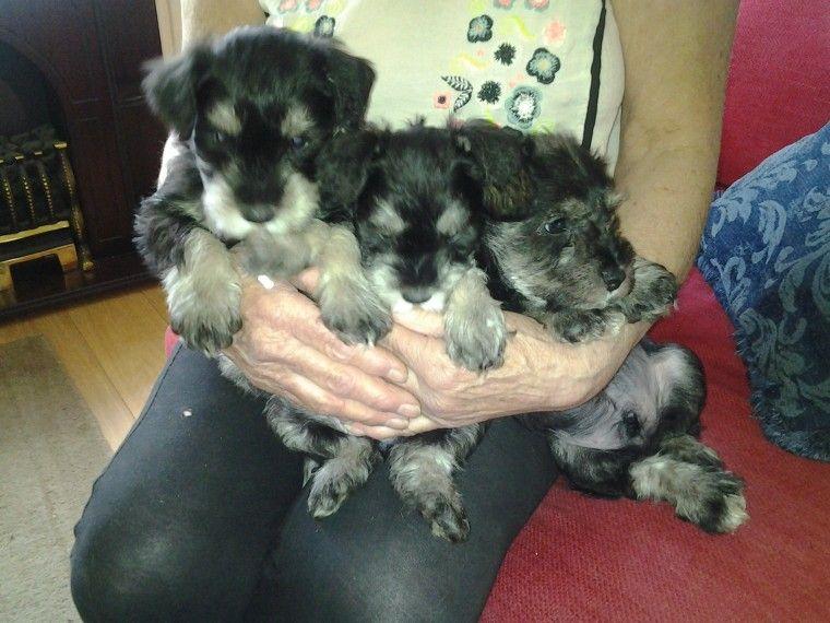 Miniature Schnauzer Puppy Wisbech Cambridgeshire Pets4homes Miniature Schnauzer Puppies Schnauzer Puppy Schnauzer Dogs