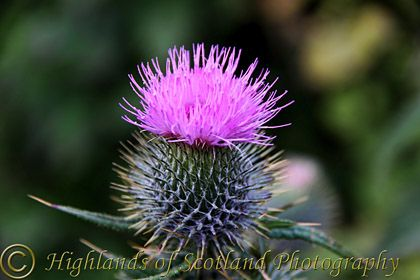 While the thistle has prickles it has a wonderfully beautiful flower.