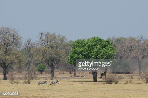 Stock Photo : Zebra crossing savanna and giraffe grazing under a sausage tree.