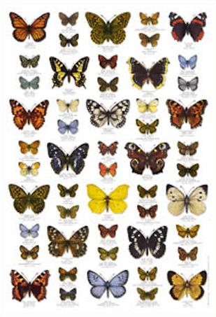 Schmetterlinge Butterflies Poster Im Kinderpostershop Kaufen Schmetterling Malen Schmetterling Poster Shop