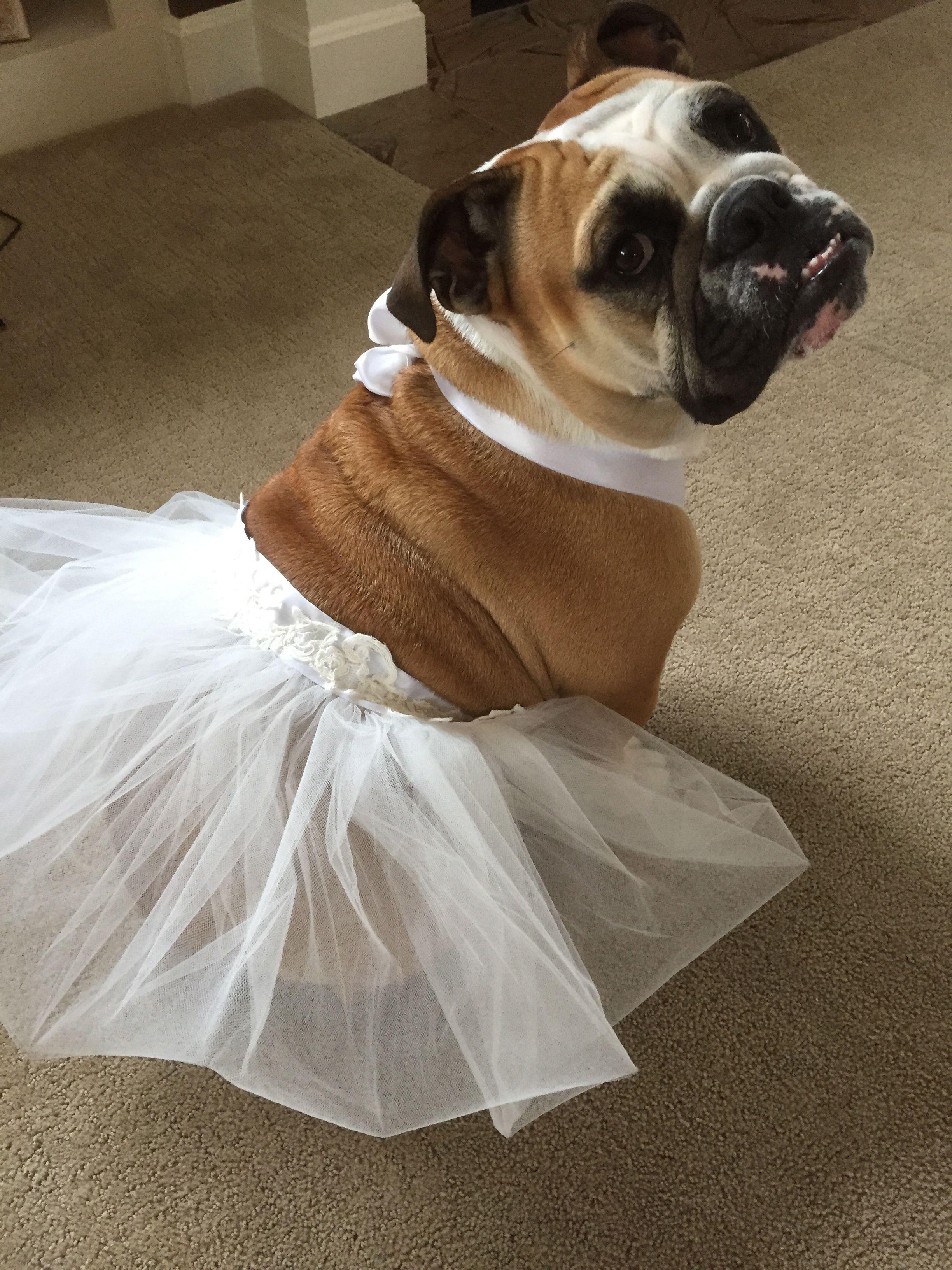 English Bulldog In A Tutu For A Wedding Adorabull Dog Wedding
