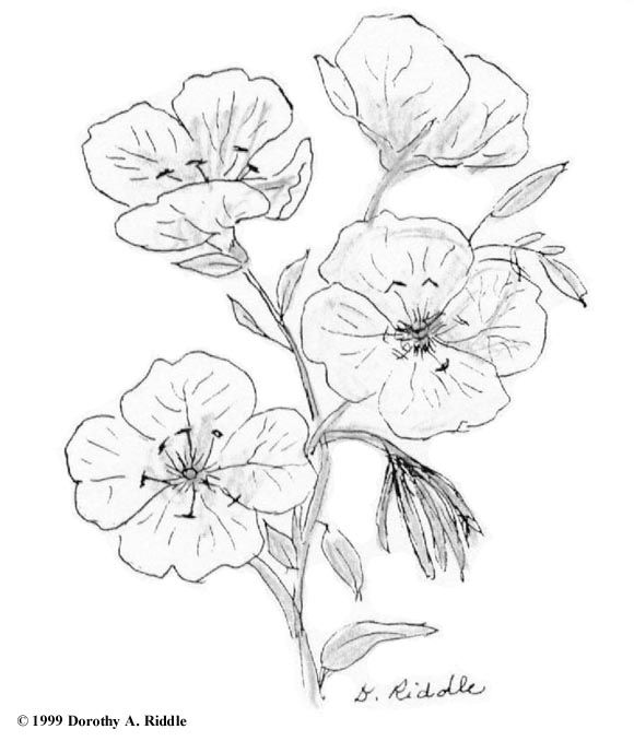 Www Nps Gov Plants Color Txhill Imgs Oesp1 Jpg Birth Flower Tattoos Aquarius Constellation Tattoo J Tattoo