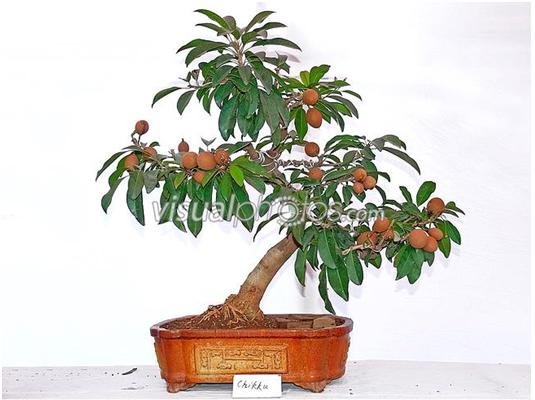 Jenis Jenis Tanaman Yang Dapat Dijadikan Bonsai Pohon