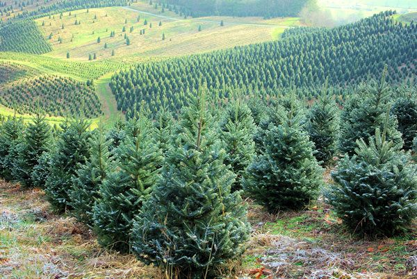 NC Christmas Tree Farms Open This Weekend | Christmas tree farm, Christmas tree store, Farm photo