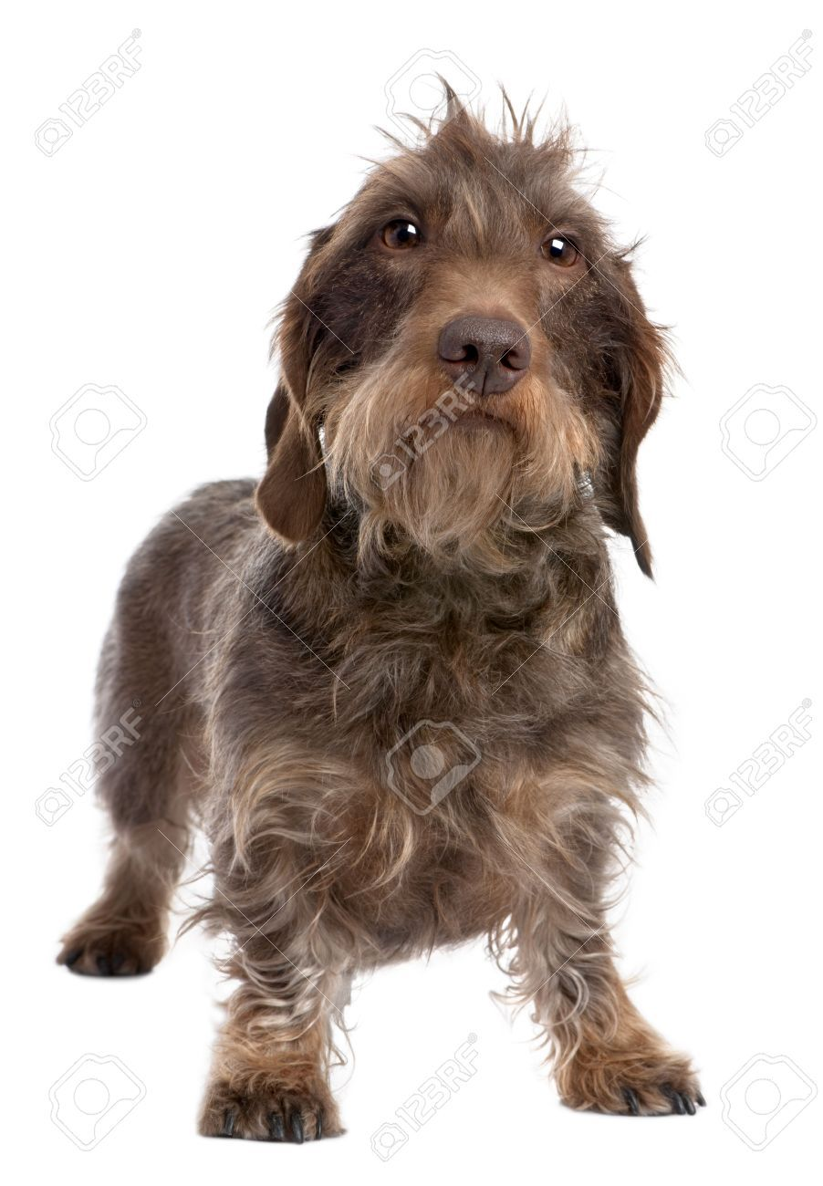 Stock Photo Wire Haired Dachshund Dachshund Dog Mom