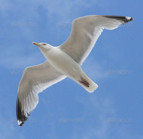 Belarus Common Gull Larus Argentatus Animal Bird Blue Flight Fly Gull Nature Sea Bird Seabird Seagull Sky Wing Sea Birds Bird Seagull