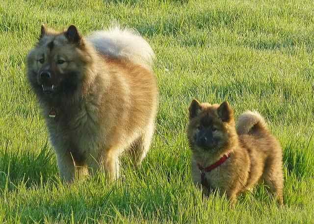 Eurasier Infomieren Sie Sich Mit Bildern Hunde Rassen