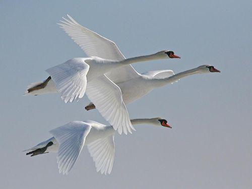 swans-in-powerful-flight