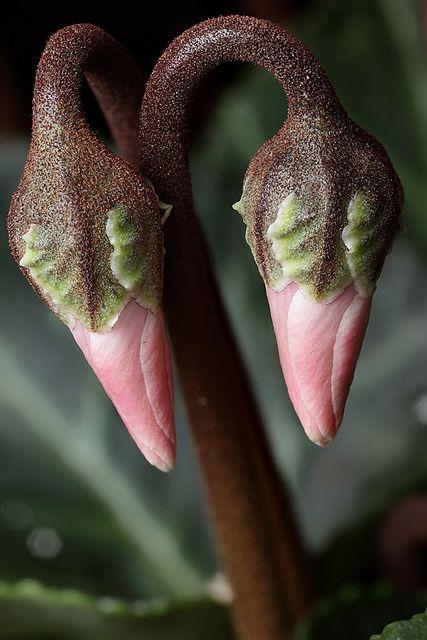 miniature cyclamen flower buds by Lord V, via Flickr