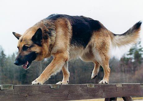#German #Shepherd dog is moving