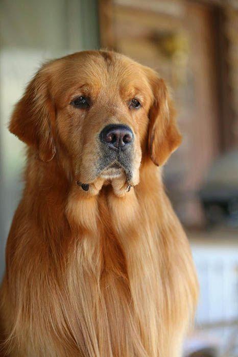 Beautiful Golden Retriever Stud Dog Golden Retriever Retriever