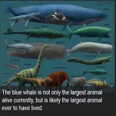 Blue whale. Largest animal to ever live.   Science ... - photo#34