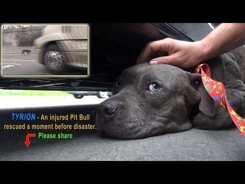 這隻比特犬以為自己會因為嚴重的傷口感染而死在街頭時…一隻溫暖的手摸著牠的頭說「沒事了」。 - boMb01