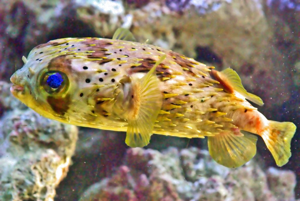 Puffer fish under the sea pinterest aquariums and animal for Puffer fish florida