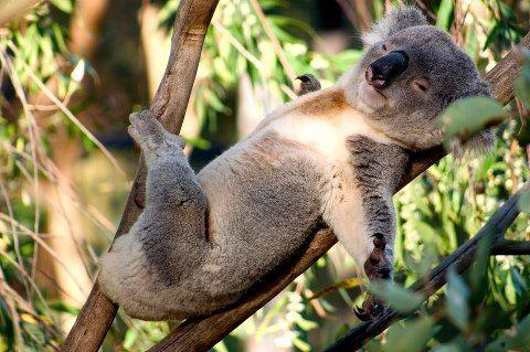 funny little Koala