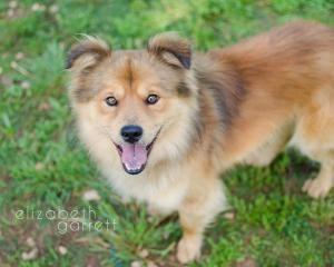 Adopt Shorty On Petfinder Keeshond Dog Crazy Dog Lady Keeshond