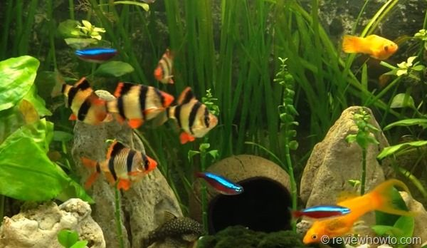Tiger Barb In Cummunity Tank Tropical Fish Tanks Aquarium Fish Saltwater Aquarium Fish