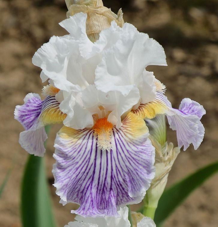 TB Iris germanica 'Pick Up Line' (Johnson, 2013)
