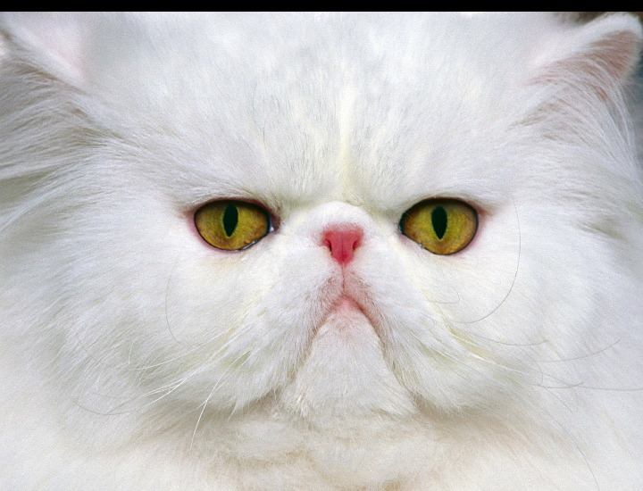 Pin by michaelle maggitti on Kittens Persian cat white