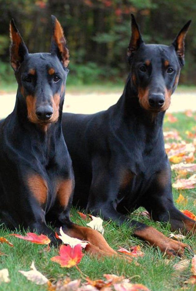 Magnificent Duo Doberman Pinscher Dog Doberman