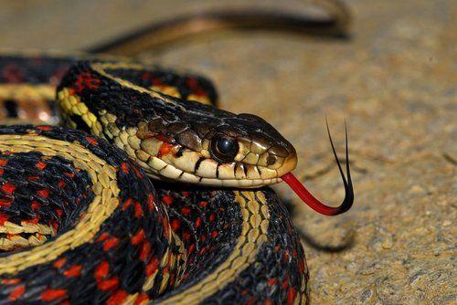 Red Sided Garter Snake By Lizardman1988 Cat Having Kittens