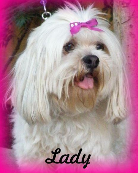 Adopt Lady On Shih Tzu Dog Sweet Girls Lady