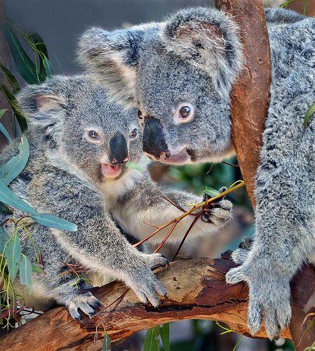 Adorable #koalas at the San Diego Zoo! #animals