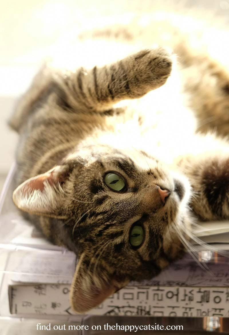 Your Female Cat In Heat A Complete Guide From The Happy Cat Site Cat Having Kittens Cat In Heat Grey Tabby Cats