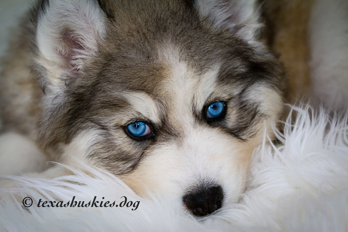 Photo shoot for 7 week old in 2020 husky siberian
