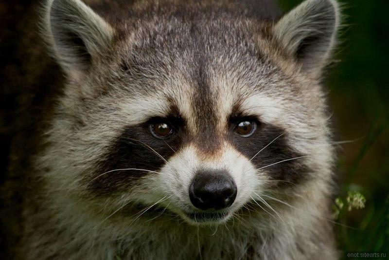 Енот, фото 193 | Еноты | Raccoons - Сайт любителей енотов ...