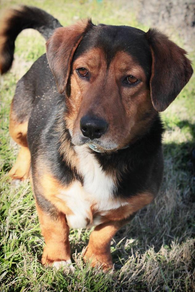 Adopt Hogan On Basset Hound Mix Dog Adoption Dogs