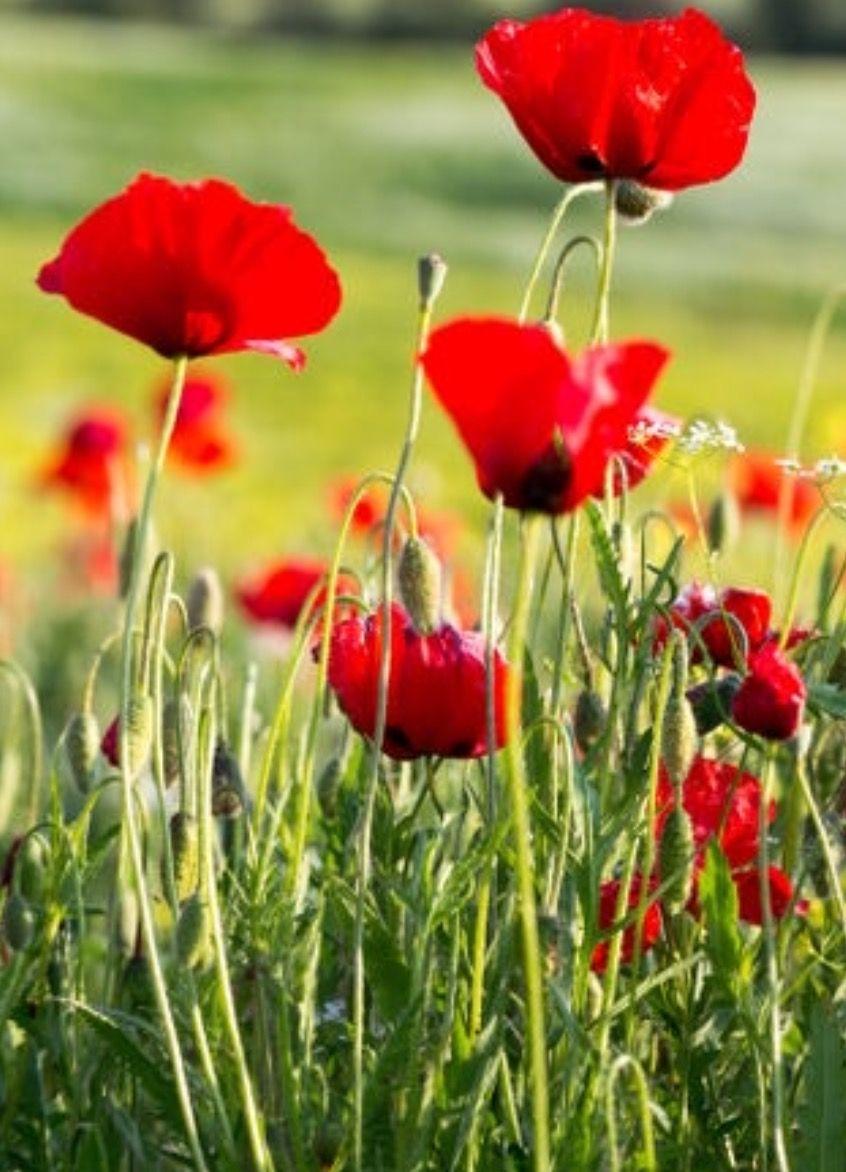 Poppies Bild Von Debbie G Pflanzen Mohnfelder Mohnblume