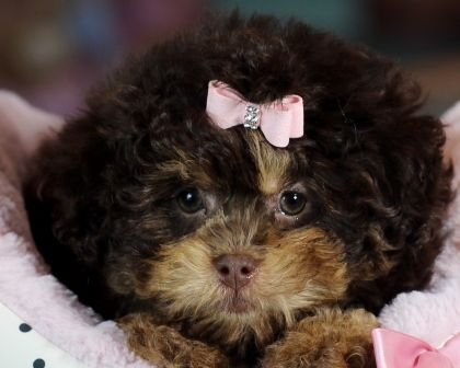 3 3 3 Dynamite The Shih Tzu Poodle Mix For Sale 3 3 3 How Can