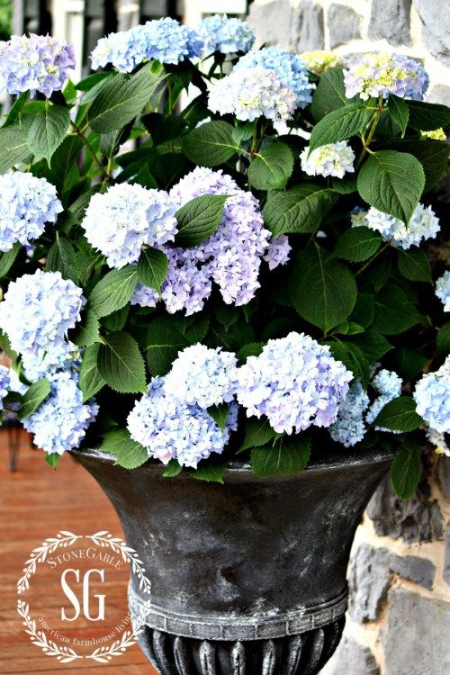 Planting hydrangeas in pots and urns urn and planting - Care potted hydrangea ...