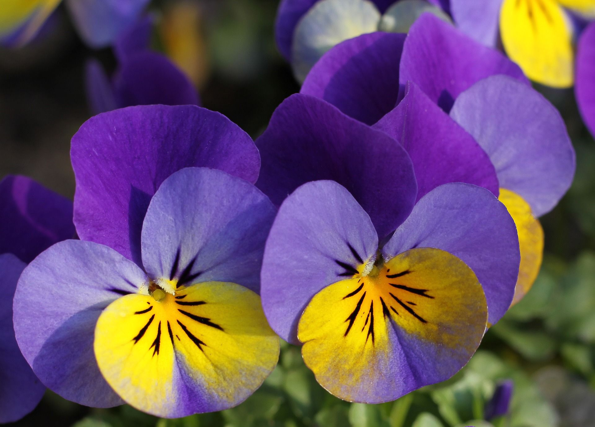 Purple And Yellow Pansy Flowers Colour Mood Board For Limoncello