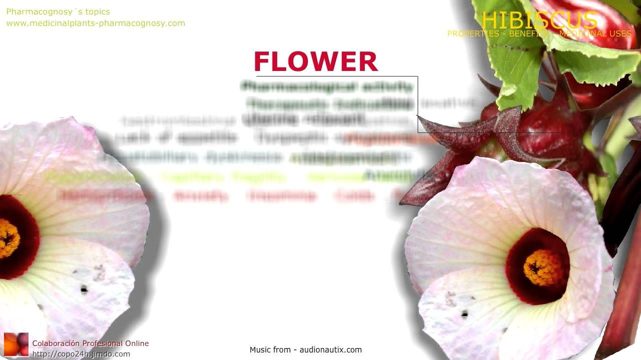 Hibiscus benefits roselle hibiscus sabdariffa plant benefits of hibiscus benefits roselle hibiscus sabdariffa plant benefits of flowers izmirmasajfo