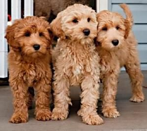 Australian Labradoodle By Farin Joon With Images Australian Labradoodle Puppies Labradoodle