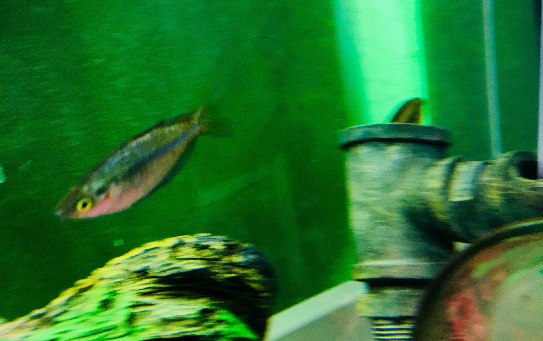 Australian rainbowfish Dither fish Jack Dempsey tank