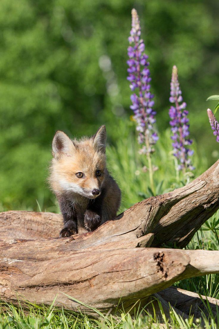 Baby Fox In The Woods Fox Pups Red Fox Animals