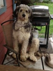 Brutus is an adoptable Old English Sheepdog Dog in Toronto, ON. Brutus is approximately two years. He is neutered. He is a super active boy, very affectionate and loves to cuddle.He loves walking wit...